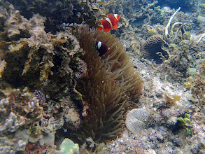 Photo: Premnas biaculeatus (Maroon Clownfish), Lusong Island, Coral Garden Reef, Palawan, Philippines.
