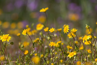 Photo: Spring flowers, goldfields and lupine, in the Mojave Desert