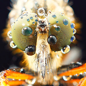 Robber fly by Abgtamz Ally - Animals Insects & Spiders ( macro, nature up close, insects, waterdrops )