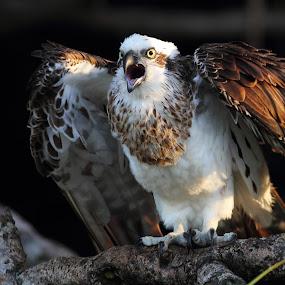 Aggro by Howard Ferrier - Animals Birds ( wings, beak, pandanus, branch, osprey, kings beach,  )