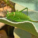 Hoelzel's Bright Bush-cricket