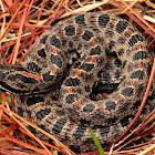 Eastern Dusky Pigmy Rattlesnake