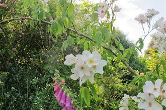 Photo: rosa brunonii