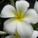 Kauai Flowers icon