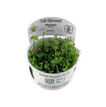 Marsilea hirsuta 1-2-Grow