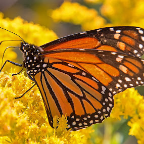 Monarch Butterfly by Bill Diller - Animals Insects & Spiders ( wildflower, michigan, nature, butterfly, monarch butterfly, goldenrod, monarch, wildlife )