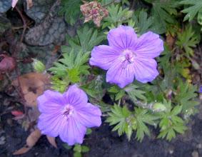 Photo: Lila virág