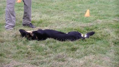 Photo: Stanley German Shepherd playing dead as part of his best trick