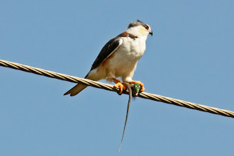Photo: Pearl Kite