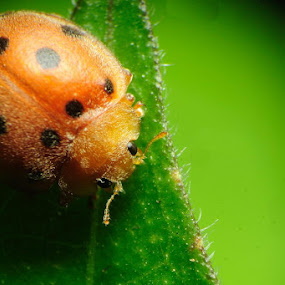 Lady Bug by Taufiqurrahman Setiawan - Animals Insects & Spiders