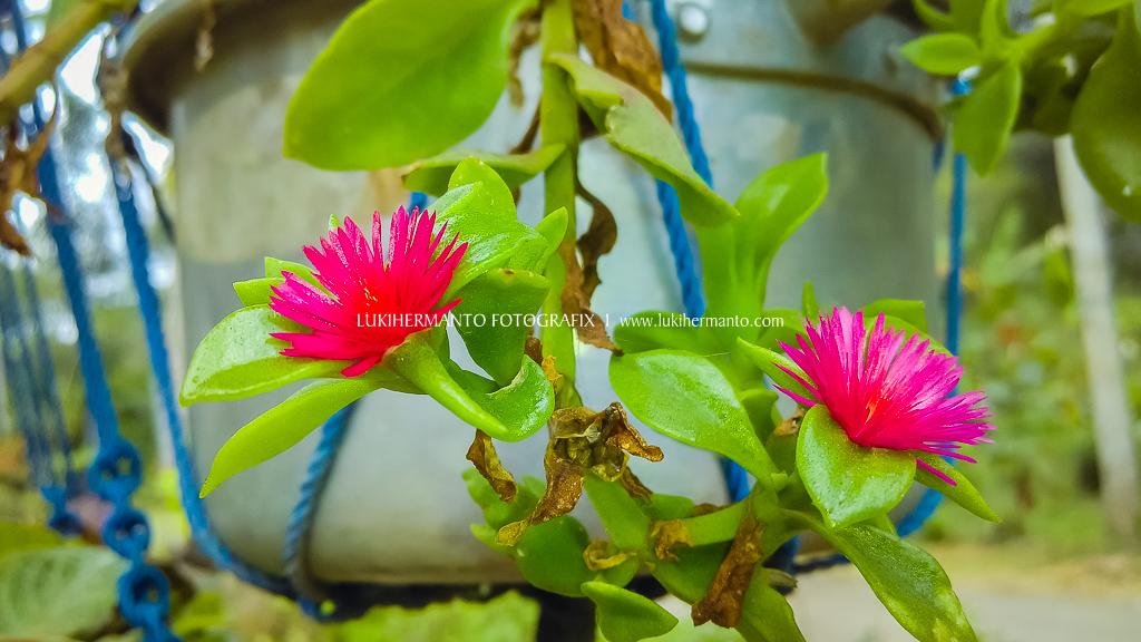 foto bunga dengan kamera HP macroan