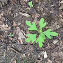 Sassafras seedling