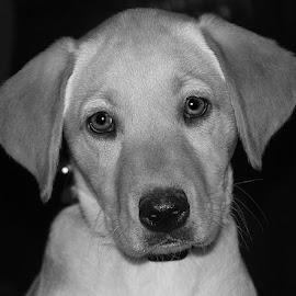 Little Cutie by Chrissie Barrow - Black & White Animals ( monochrome, black and white, labrador, portrait, eyes, pet, ears, fur, grey, puppy, dog, nose, mono, animal )