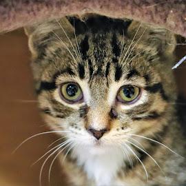 Mia  by Linda    L Tatler - Animals - Cats Kittens