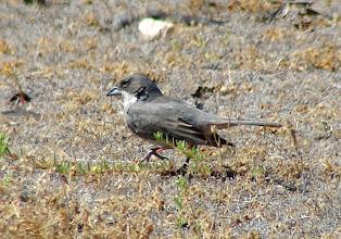 Photo: Common Diuca-finch - La Campana National Park - Chile - Nov 15, 2010