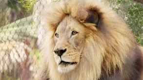 A Lion's Tale thumbnail