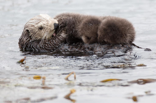 Sea Otters Wallpaper Images