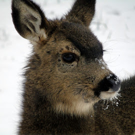 INNOCENCE by Cynthia Dodd - Novices Only Wildlife ( animals, winter, nature, cold, beautiful, snow, wildlife, innocence, doe, deer )