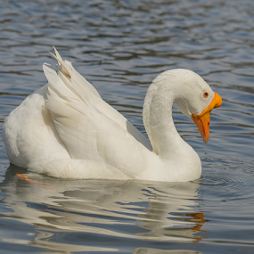 Duck by Fabienne Lawrence - Animals Birds ( duck, feahter, bird, animal, lake )