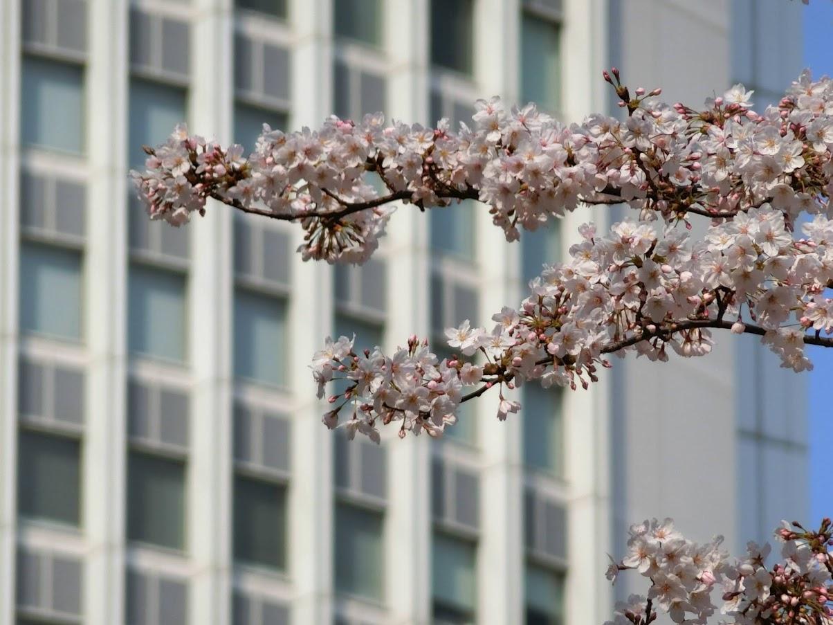 名古屋駅の桜