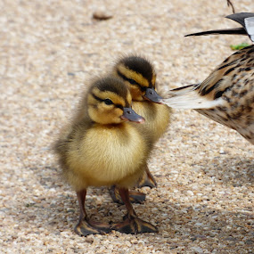 ducklings by Nick Parker - Animals Other ( ducklings, duck, chicks,  )