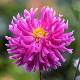 Dahlia 9295 by Raphael RaCcoon - Flowers Single Flower