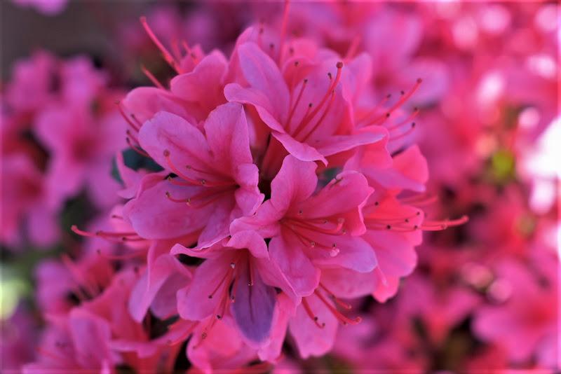 Aprile rosa speranza  di marinafranzone