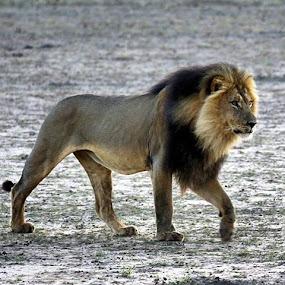 King of the Kalahari by Sheila Grobbelaar - Animals Lions, Tigers & Big Cats ( amazing, cats, catsofinstagram, lions, kgalagadi, kalahari )