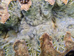 Photo: Hippopus hippopus (Bear Paw Clam), Miniloc Island Resort reef, Palawan, Philippines