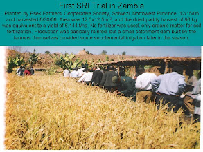 Photo: First SRI trial in Zambia in 2006 by Esek Farmers' Cooperative Society, Solwezi, Northwest Province, Zambia