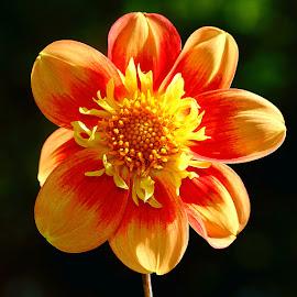 Dalhia n00057 by Gérard CHATENET - Flowers Single Flower
