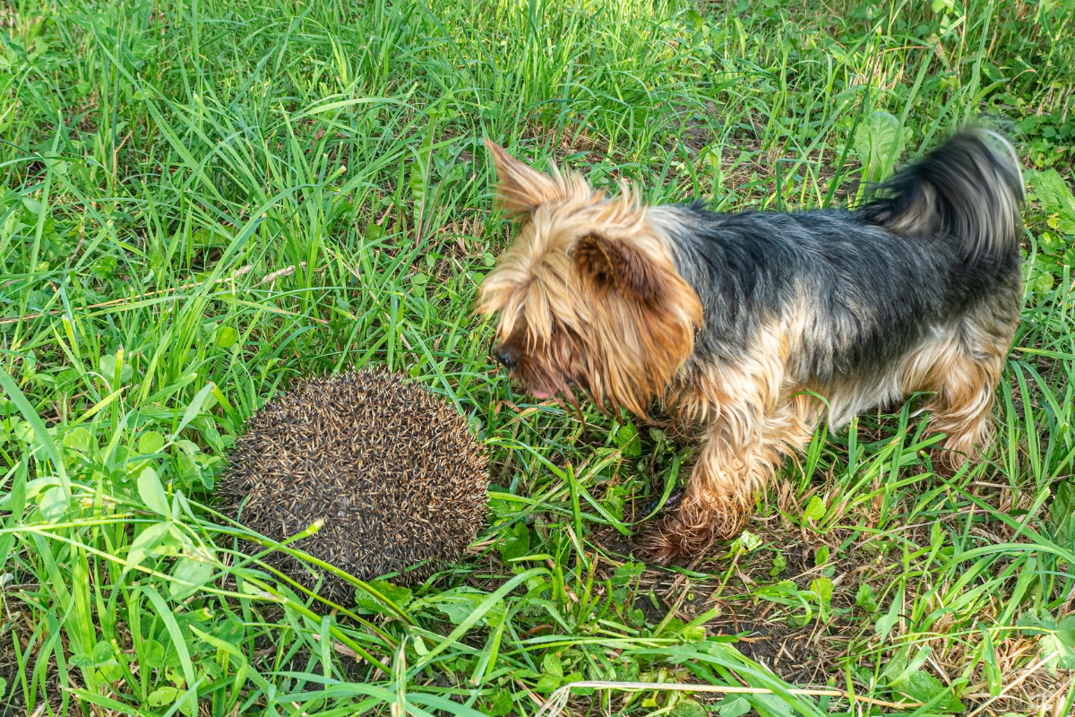 hedgehogs and dogs
