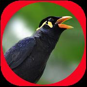 Master Suara Burung Beo Pintar