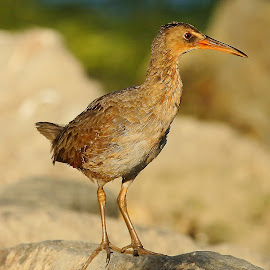 Clapper rail on the rock by Gérard CHATENET - Animals Birds