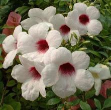 Photo: Pandorea Branca de Centro Rosa ( Pandorea jasminoides )