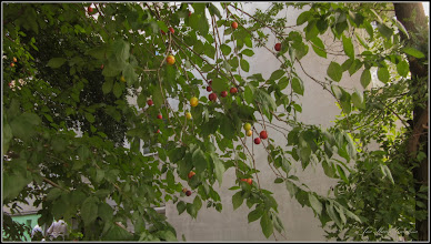 Photo: Corcodusi (Prunus cerasifera) - din Turdaa, de pe Calea Victoriei, Nr.15-17 - 2018.06.21