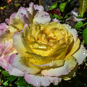 Rose by Terry Oviatt - Flowers Single Flower