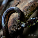 Malayn Bridle Snake