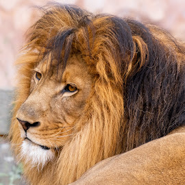 male lion by Bert Templeton - Animals Lions, Tigers & Big Cats ( africa, lioness, mane, texas, fort worth, lion, bert templeton,  )