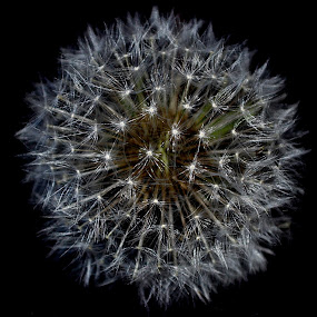 Dandy Lion by Jennifer Parmelee - Nature Up Close Other plants ( nature, white, seeds, places )