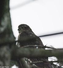 Photo: Sparrowhawk 01.01.16