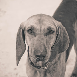 My sweet little angel by Chiara Marinelli - Animals - Dogs Portraits ( b&w, doggie, animal, black and white, portrait, dog, dog portrait )