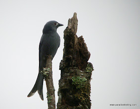 Photo: Endemic stigmatops subspecies of the Ashy Drongo, Tambanun Rafflesia Reserve in the Crocker Range