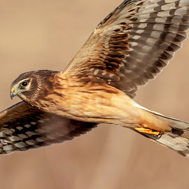 Northern Harrier by Debbie Quick - Animals Birds ( raptor, debbie quick, nature, shawangunk grasslands, debs creative images, new york, walkill, birds of prey, outdoors, harrier, bird, animal, northern harrier, hawk, wild, hudson valley, wildlife )