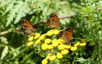 Photo: Pyronia tithonus     Lepidoptera Nymphalidae
