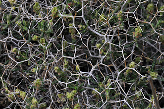 Photo: Euphorbia acanthothamnos