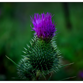 Sticky  Thistle  by Michael Priest - Nature Up Close Other plants ( wisconsin, purple, weed, landscape, flower )