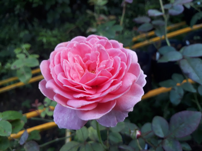 Hoa hồng Alexander of Kent Rose. Ảnh chụp ngày 22/08/2017 từ 1 chậu hồng kent giâm cành