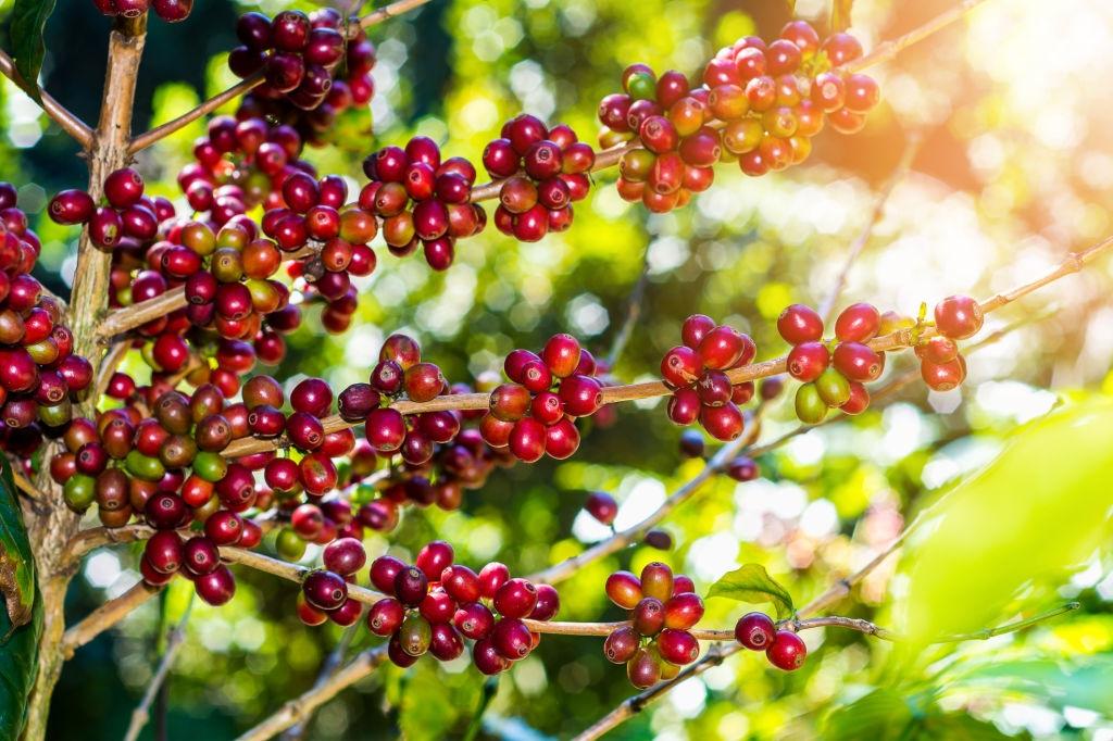 The origin of Robusta Coffee