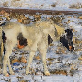 Sweet Pony by Jerry Cahill - Animals Horses ( horse, mustang, pinto, stallion, pony )